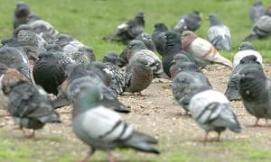 Auch ein blinder Aasvogel findet mal ein Korn. Oder anders gesagt: Man kann auch von Gefieder mit Handicap lernen (Bild von www.diepresse.com)